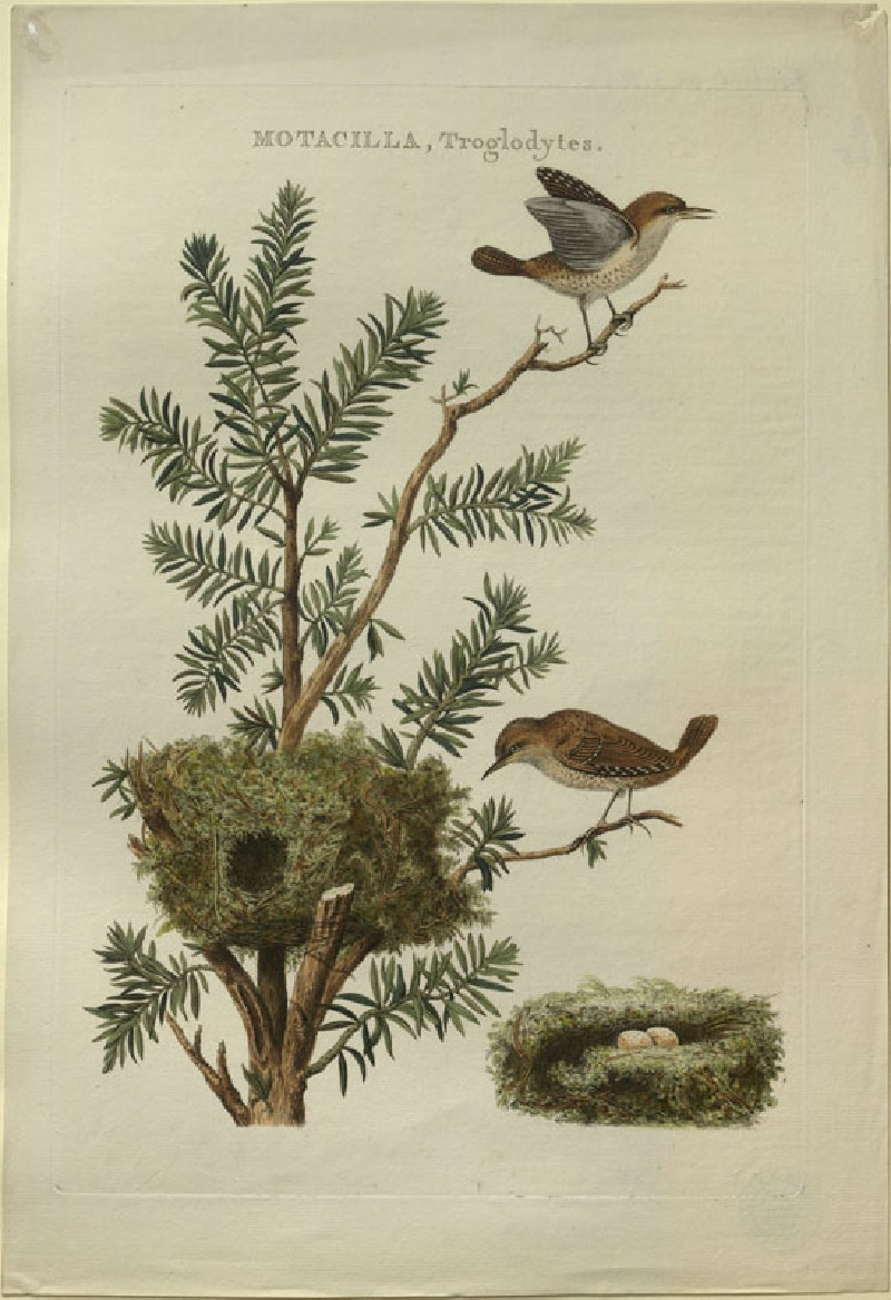 Two Wrens and their Nest (WA.RS.RUD5.RUD.185, Sepp, Christiaan, and Jan Christiaen Sepp - Two Wrens and their Nest ())
