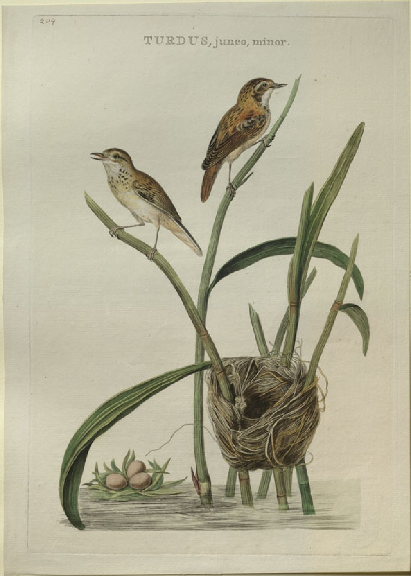 Two Thrushes and their Nest (WA.RS.RUD5.RUD.186, Sepp, Christiaan, and Jan Christiaen Sepp - Two Thrushes and their Nest ())