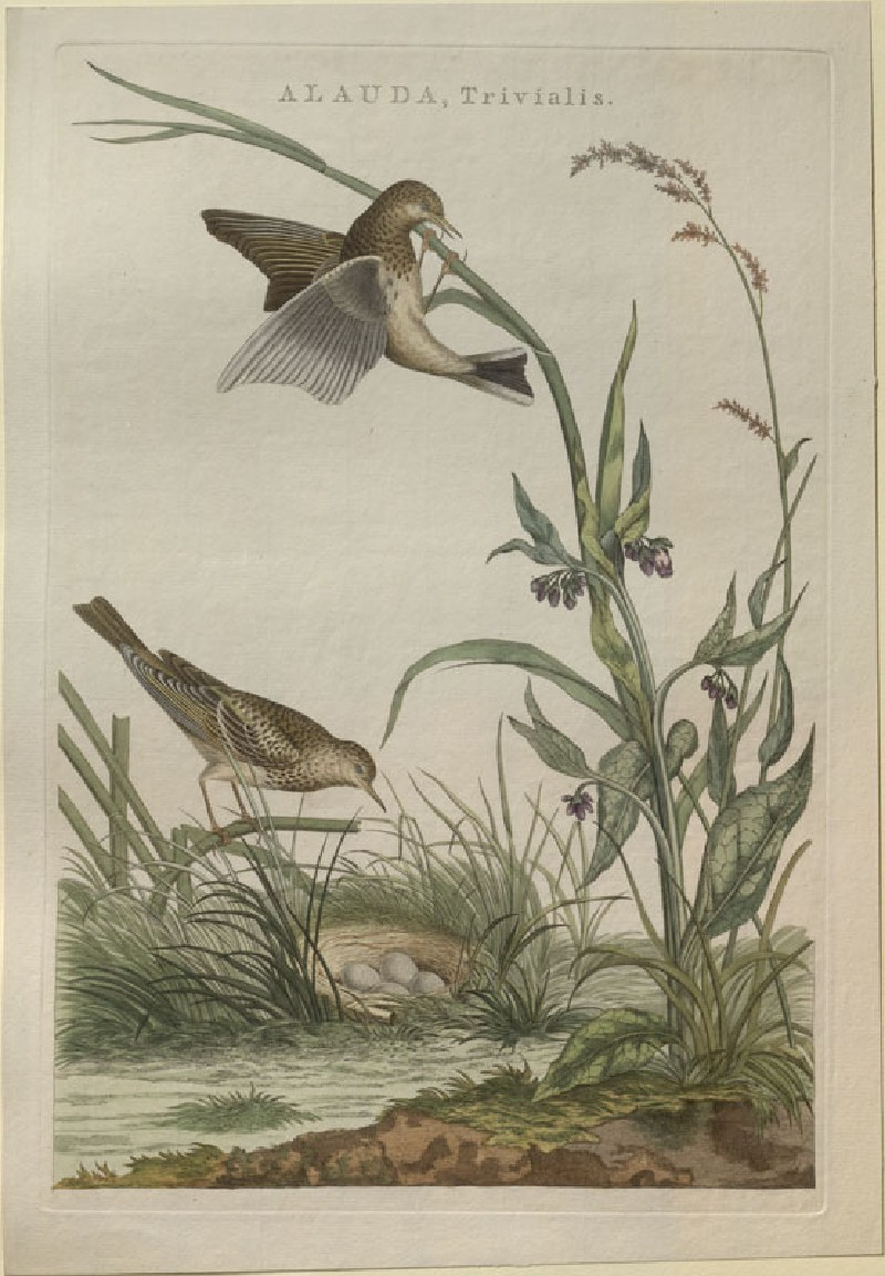 Two Skylarks and their Nest (WA.RS.RUD5.RUD.187, Sepp, Christiaan, and Jan Christiaen Sepp - Two Skylarks and their Nest ())