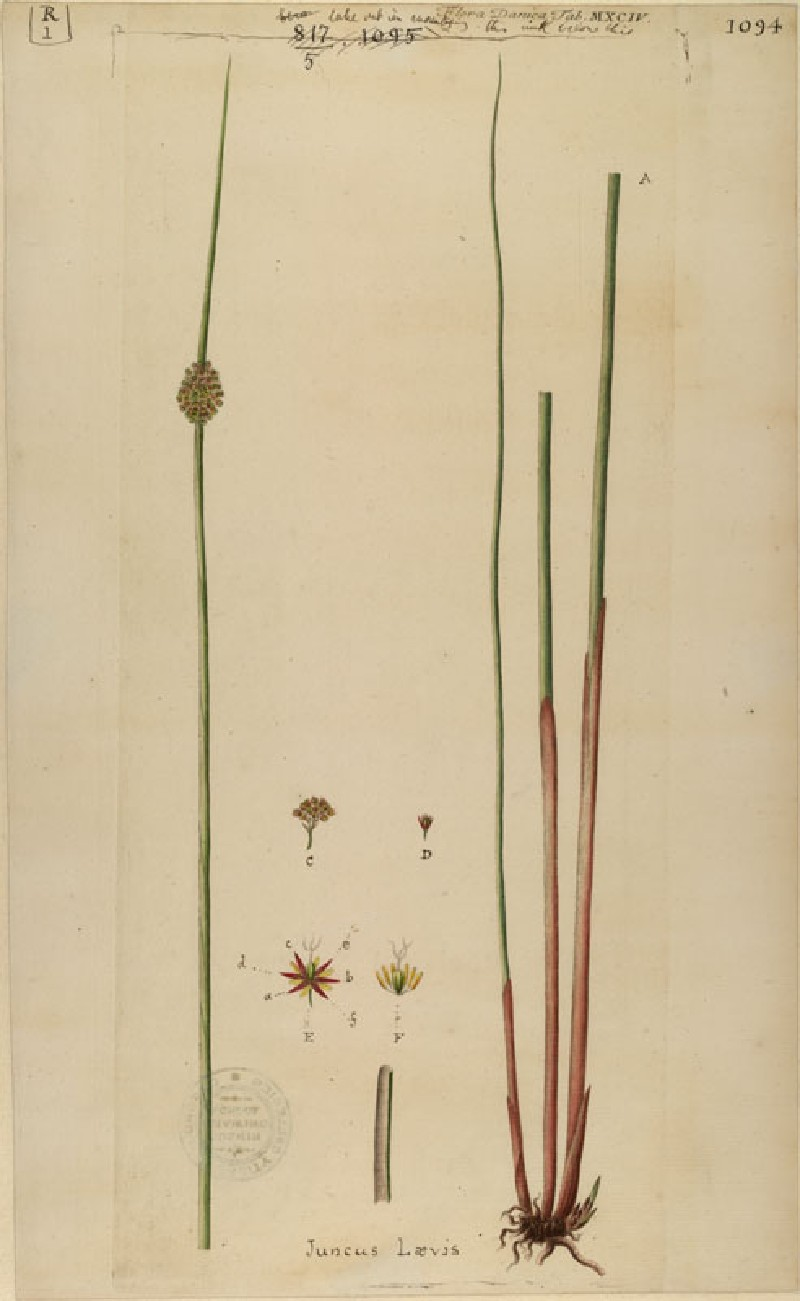 The Rush and its Star Blossom (plate from Floræ Danicæ) (WA.RS.RUD.001, unidentified - The Rush and its Star Blossom (plate from Floræ Danicæ) ())