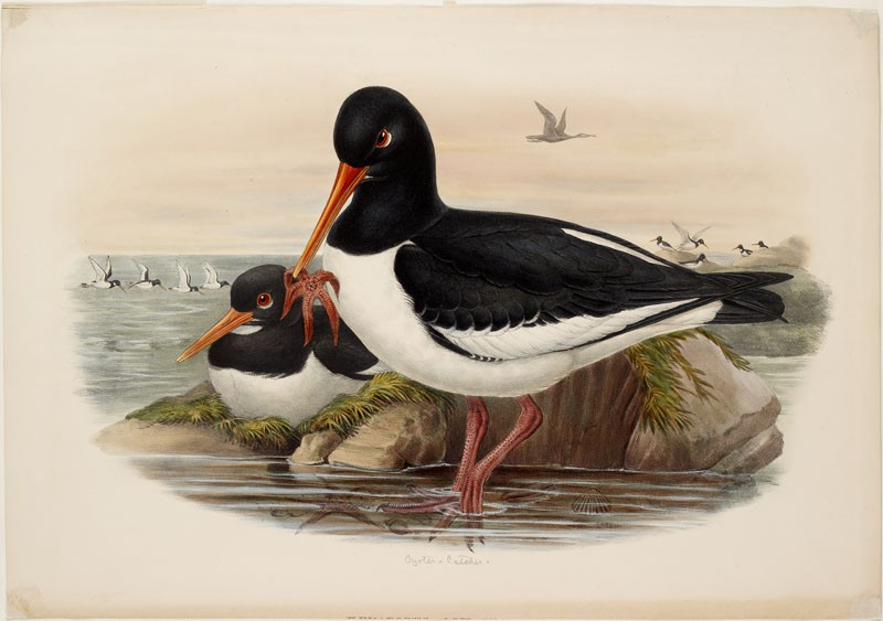 Oyster-Catcher (WA.RS.RUD.195, Gould, John, and H.C. Richter - Oyster-Catcher ())