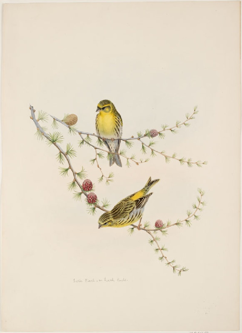 Serin Finch, on Larch Buds (WA.RS.RUD.198, Gould, John, and H.C. Richter - Serin Finch, on Larch Buds ())
