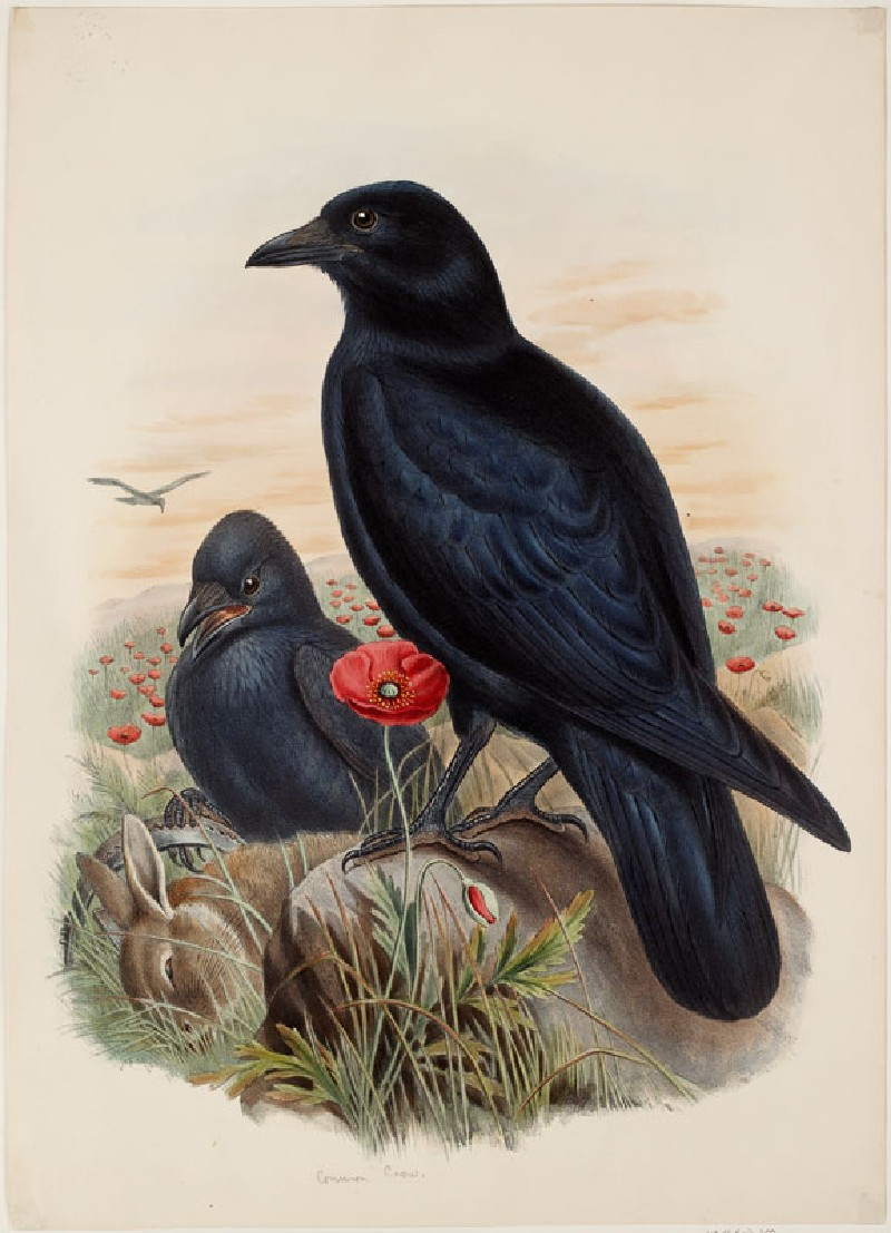 Carrion-Crow (WA.RS.RUD.200, Gould, John, and H.C. Richter - Carrion-Crow ())