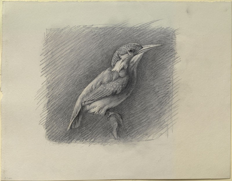 Study of a Kingfisher, with dominant Reference to Shade (WA.RS.RUD.202, Ruskin, John - Study of a Kingfisher, with dominant Reference to Shade ())