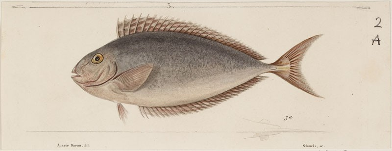 A One-knife Unicorn Fish (WA.RS.RUD.209.a, Schmelz, after Acarie-Baron - A One-knife Unicorn Fish ())