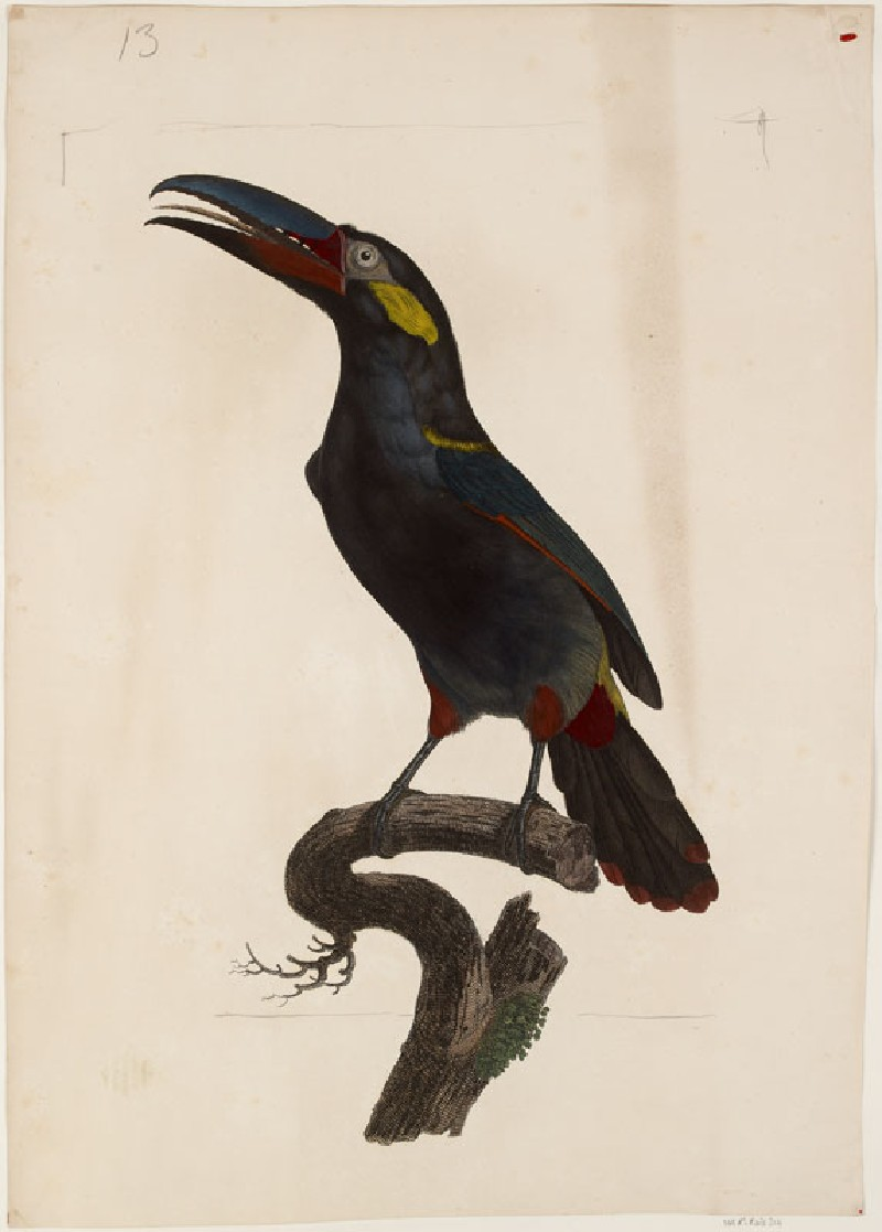 A male Guianan Toucanet (WA.RS.RUD.214, Perée, Jacques Louis, after Jacques Barraban - A male Guianan Toucanet ())