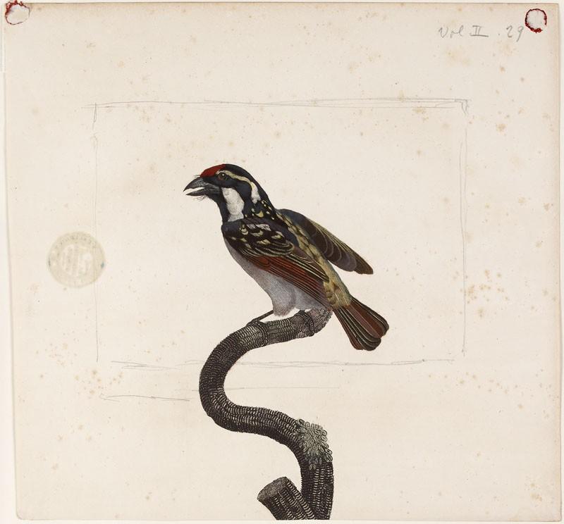 Le Barbu a gorge noire mâle (WA.RS.RUD.219, Grémillier, after Jacques Barraban - Le Barbu a gorge noire mâle ())