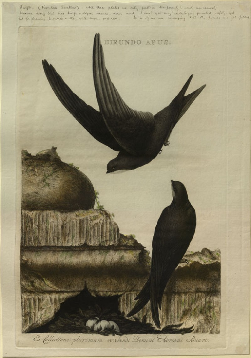 Swift ('Hirundo Apus') (WA.RS.RUD.223, Sepp, Christiaan - Swift (