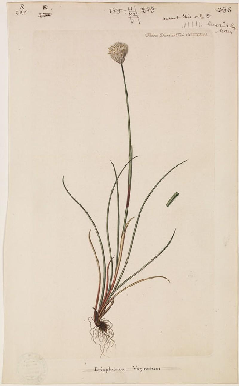 Eriophorum Vaginatum (from the Floræ Danicæ) (WA.RS.RUD.226, unidentified - Eriophorum Vaginatum (from the Floræ Danicæ) ())