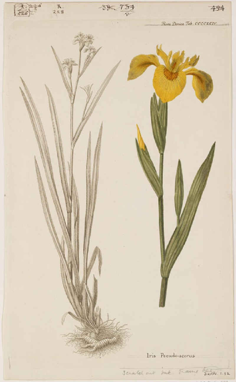 The Golden Iris (Iris Pseudo-acorus) (from the Floræ Danicæ)