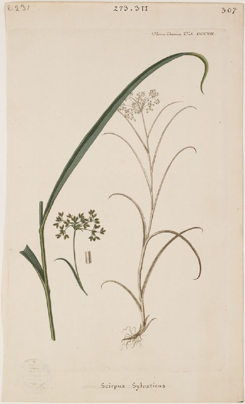 Scirpus Sylvaticus (from the Floræ Danicæ) (WA.RS.RUD.231, unidentified - Scirpus Sylvaticus (from the Floræ Danicæ) ())