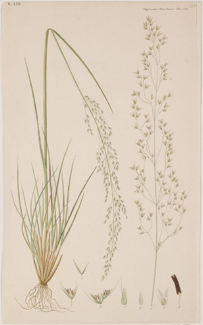 A Grass (from the Floræ Danicæ)