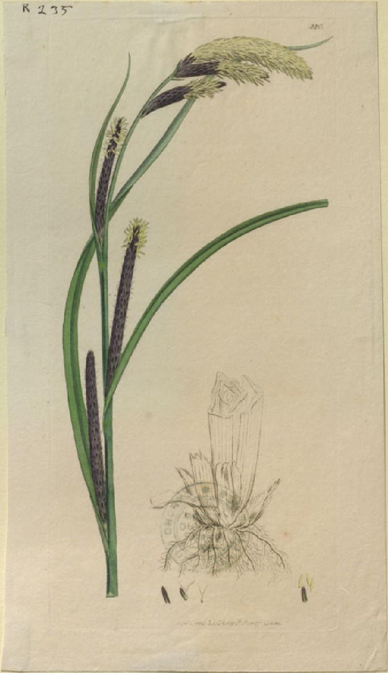 Carex acuta (WA.RS.RUD.235, Sowerby, James - Carex acuta ())