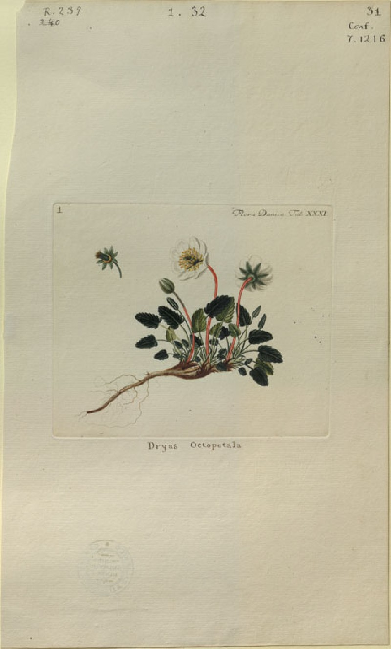 The Mountain Avens (Dryas octopetala) (from the Floræ Danicæ) (WA.RS.RUD.239, unidentified - The Mountain Avens (Dryas octopetala) (from the Floræ Danicæ) ())