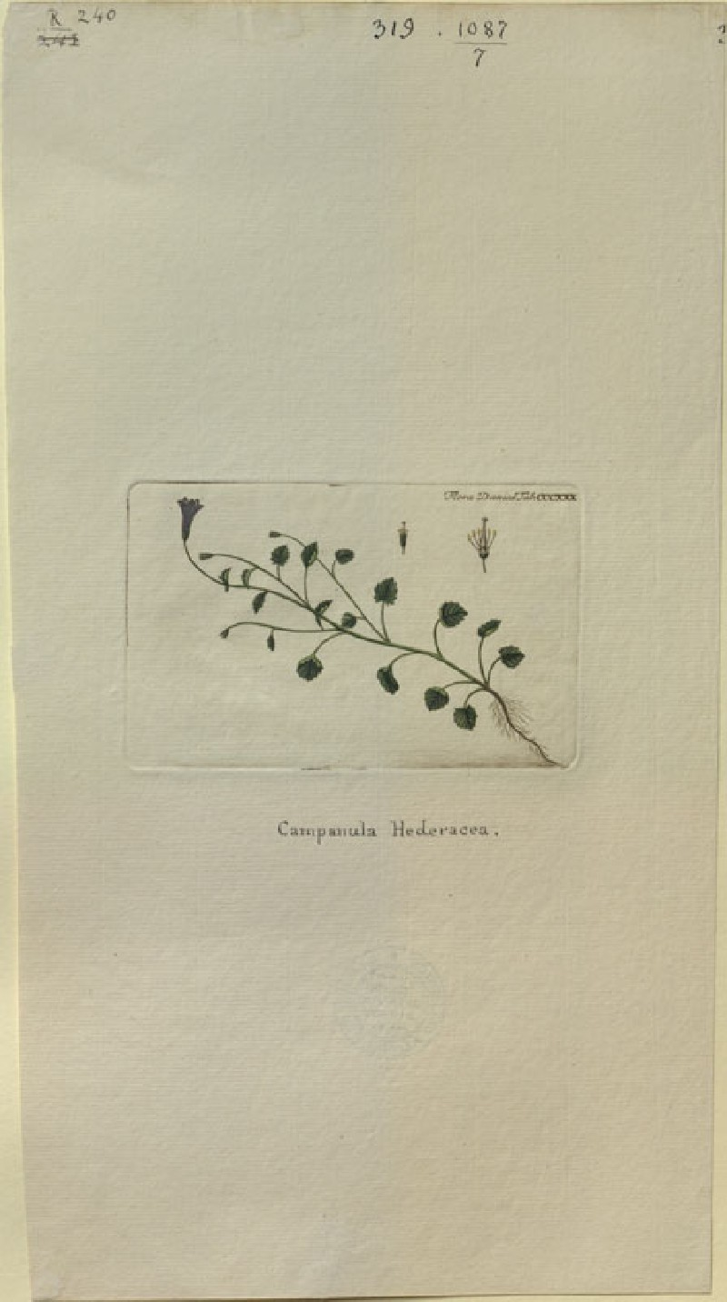 The Ivy Campanula (Campanula Hederacea) (from the Floræ Danicæ) (WA.RS.RUD.240, unidentified - The Ivy Campanula (Campanula Hederacea) (from the Floræ Danicæ) ())