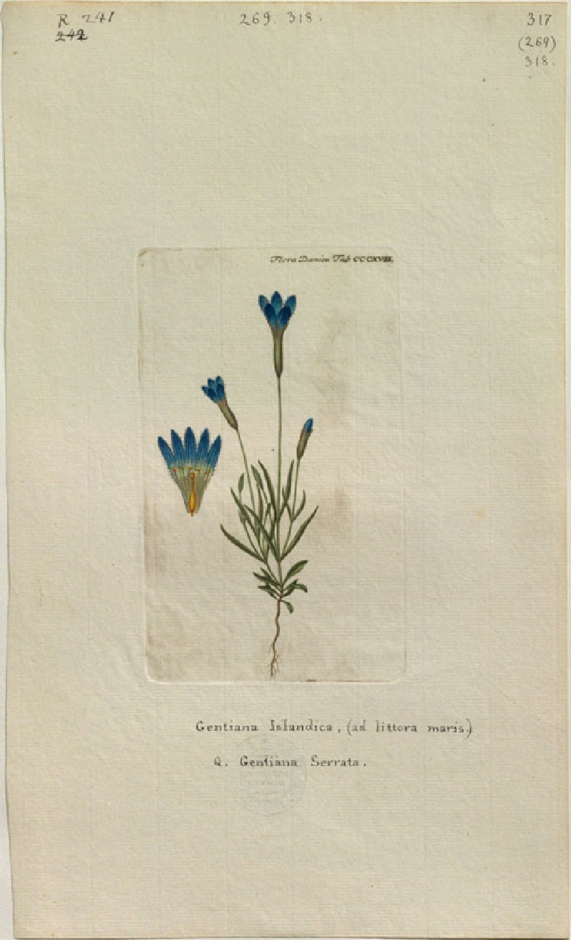 The Iceland Gentian (Gentiana Islandica, Q. Gentiana Serrata) (from the Floræ Danicæ) (WA.RS.RUD.241, unidentified - The Iceland Gentian (Gentiana Islandica, Q. Gentiana Serrata) (from the Floræ Danicæ) ())