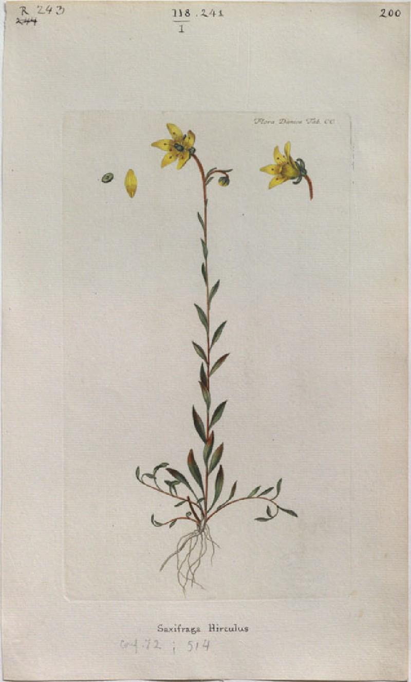 Saxifrage (Saxifraga Hirculus) (from the Floræ Danicæ)