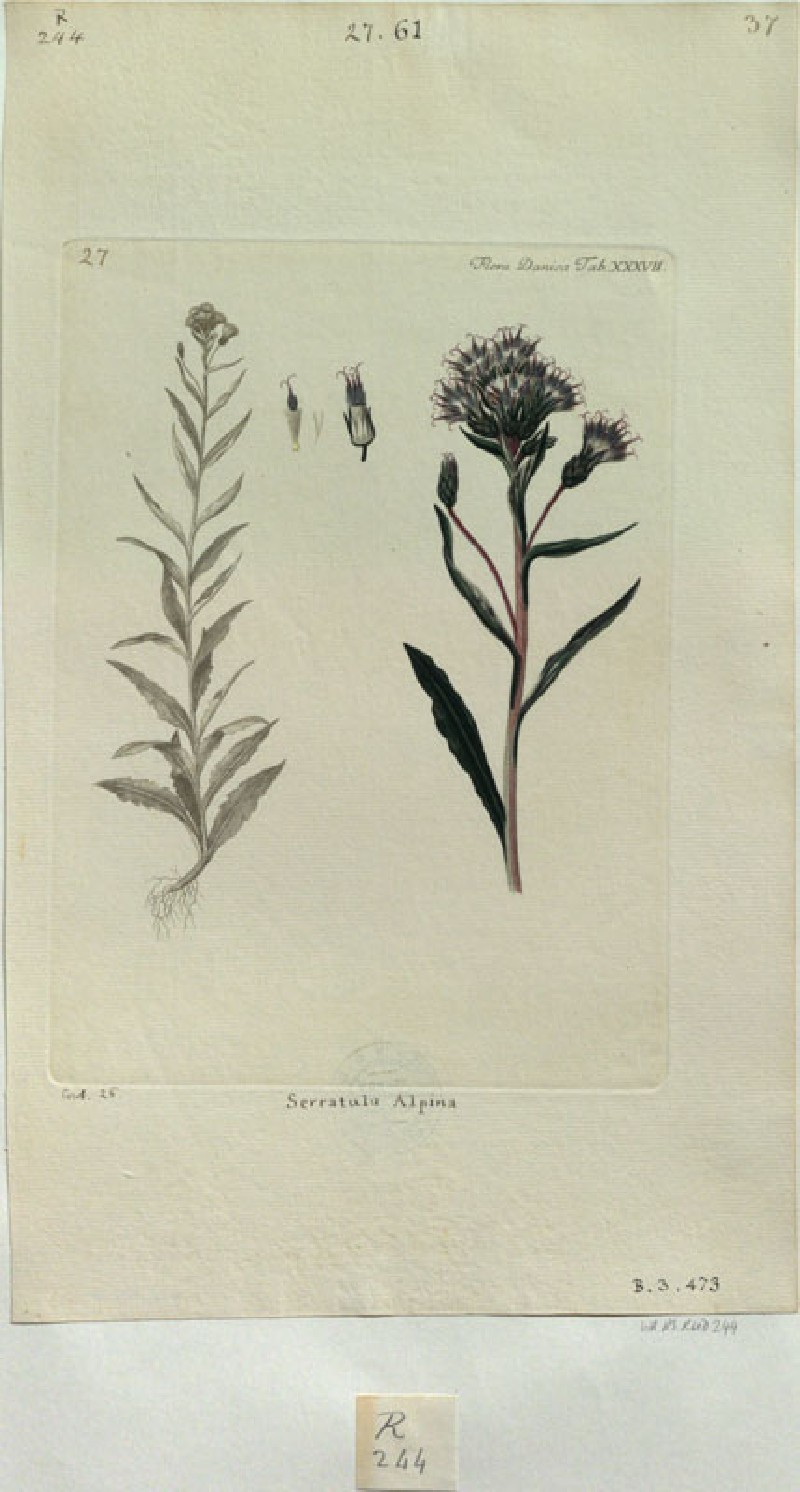 The Alpine Sawwort (Serratula alpina) (from the Floræ Danicæ)
