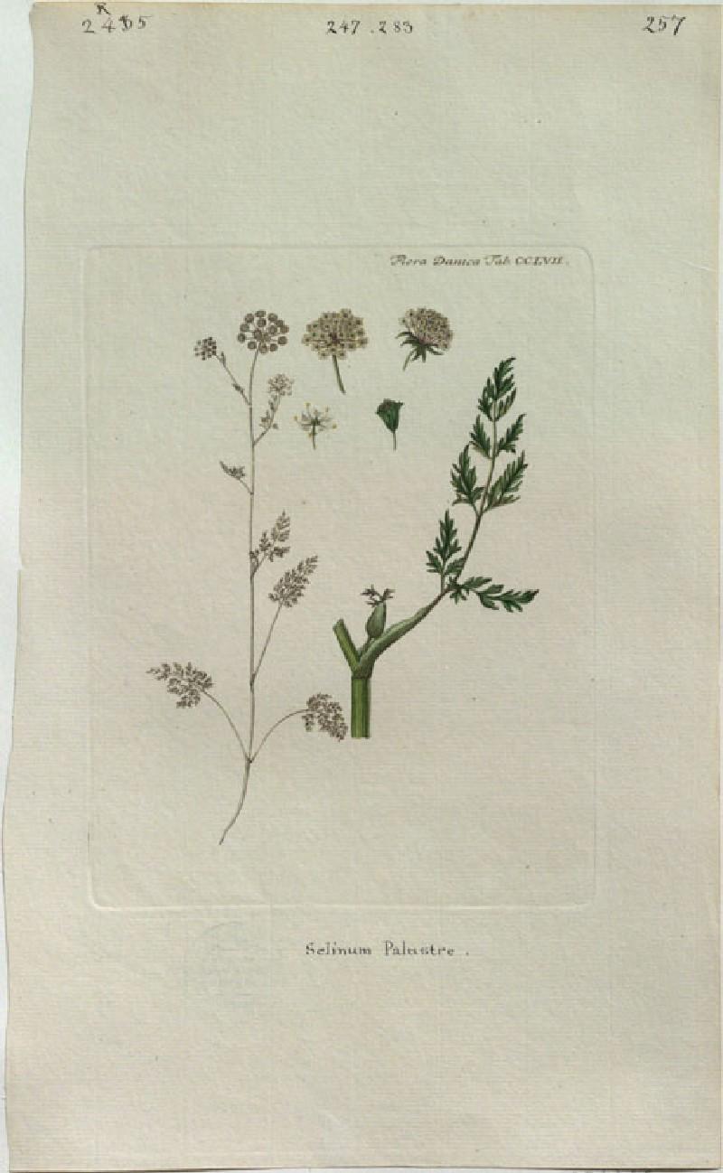 Milk Parsley (Selinum palustre) (from the Floræ Danicæ)