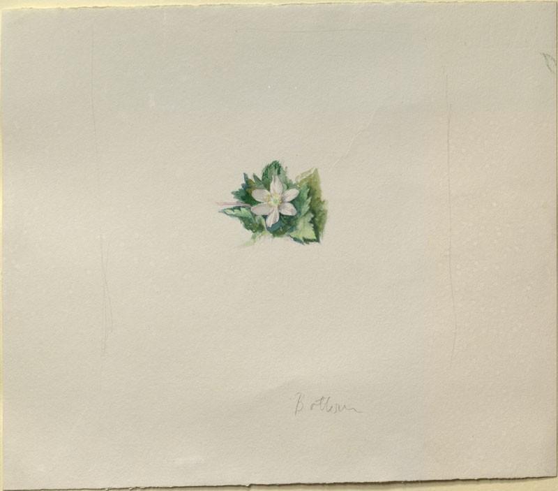 Sketch of a Wood Anemone (WA.RS.RUD.251.a, Ruskin, John - Sketch of a Wood Anemone ())