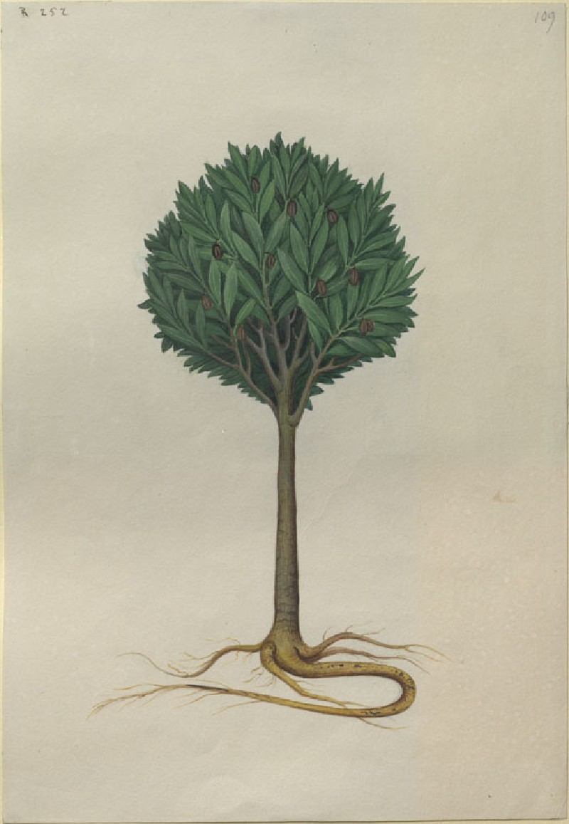 Drawing of an Illustration in the 'Herbal of Benedetto Rin', showing a Tamarind Tree ('Arbor de Tamarindis') (WA.RS.RUD.252, Caldara, Antonio, after Andrea Amadio - Drawing of an Illustration in the