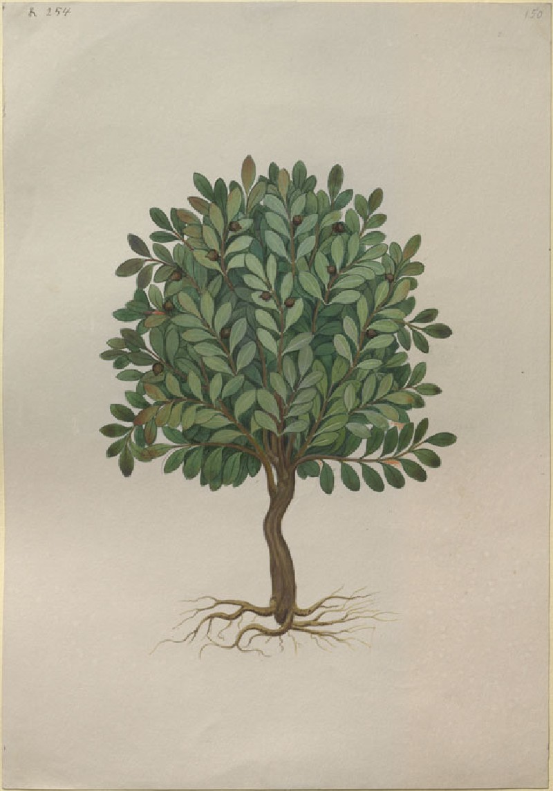 Drawing of an Illustration in the 'Herbal of Benedetto Rin', showing a Balsam Tree ('Balsamus') (WA.RS.RUD.254, Caldara, Antonio, after Andrea Amadio - Drawing of an Illustration in the