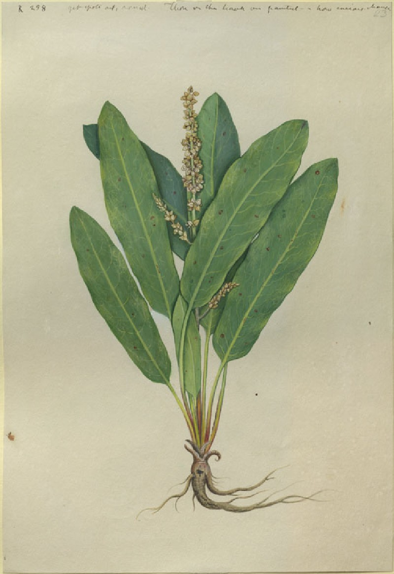 Drawing of an Illustration in the 'Herbal of Benedetto Rin', showing a Sorrel Plant ('Lapathus cauterinus') (WA.RS.RUD.258, Caldara, Antonio, after Andrea Amadio - Drawing of an Illustration in the