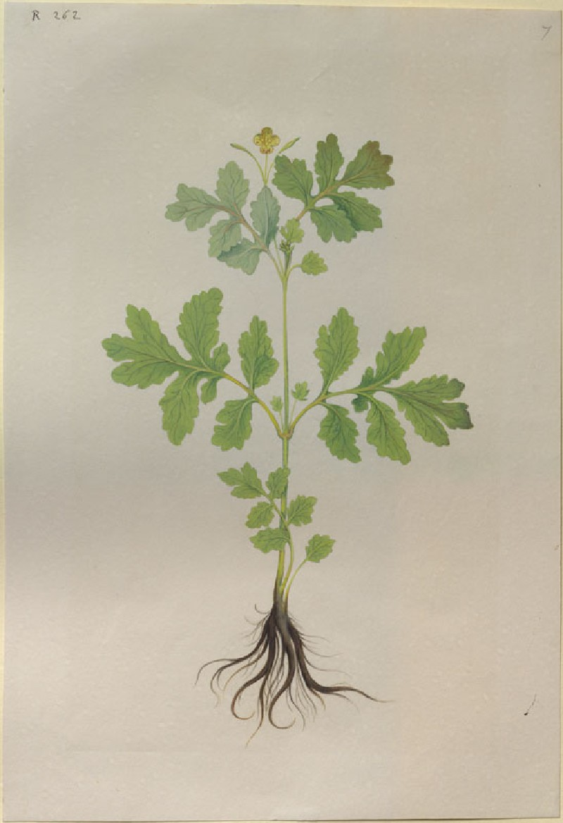 Drawing of an Illustration in the 'Herbal of Benedetto Rin', showing a Lesser Celandine, or 'Celidonia minor
