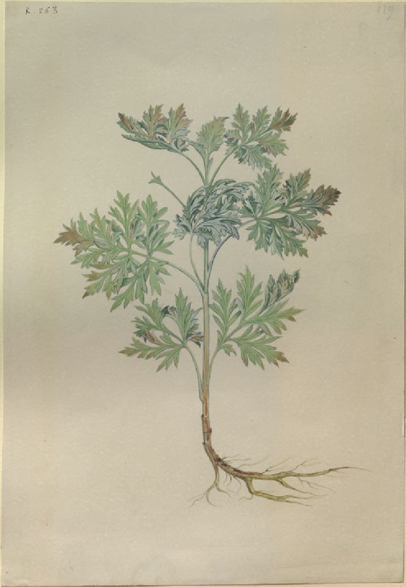 Drawing of an Illustration in the 'Herbal of Benedetto Rin', showing a Wormwood Plant ('Absanthius') (WA.RS.RUD.263, Caldara, Antonio, after Andrea Amadio - Drawing of an Illustration in the