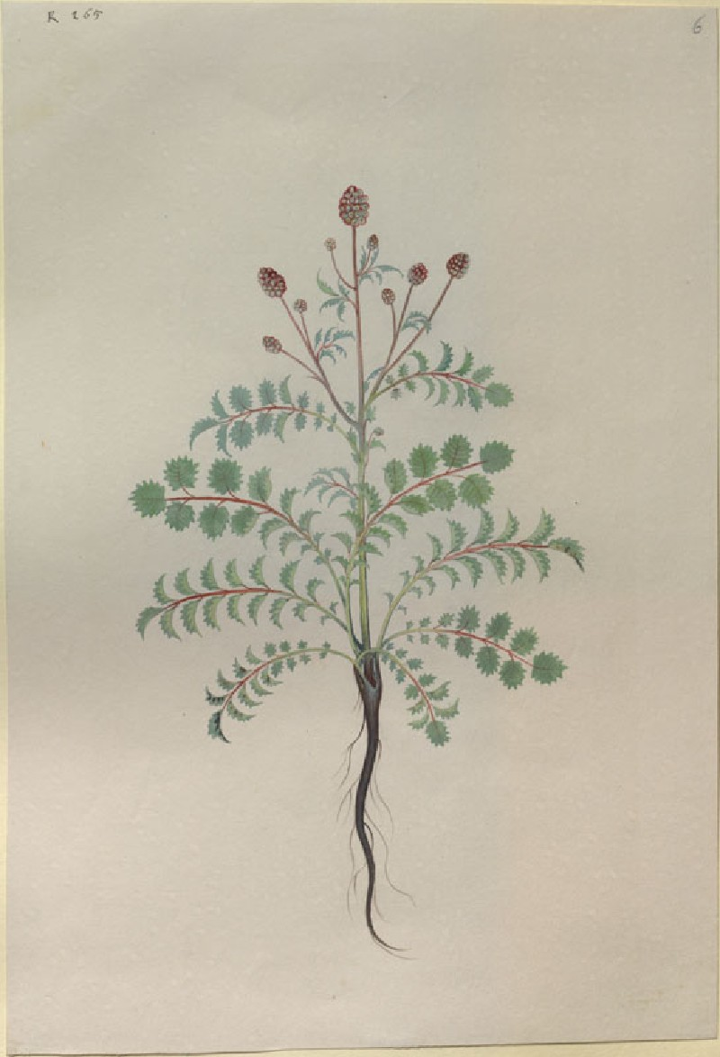 Drawing of an Illustration in the 'Herbal of Benedetto Rin', showing a Pimpernel Plant ('Pinpinella')
