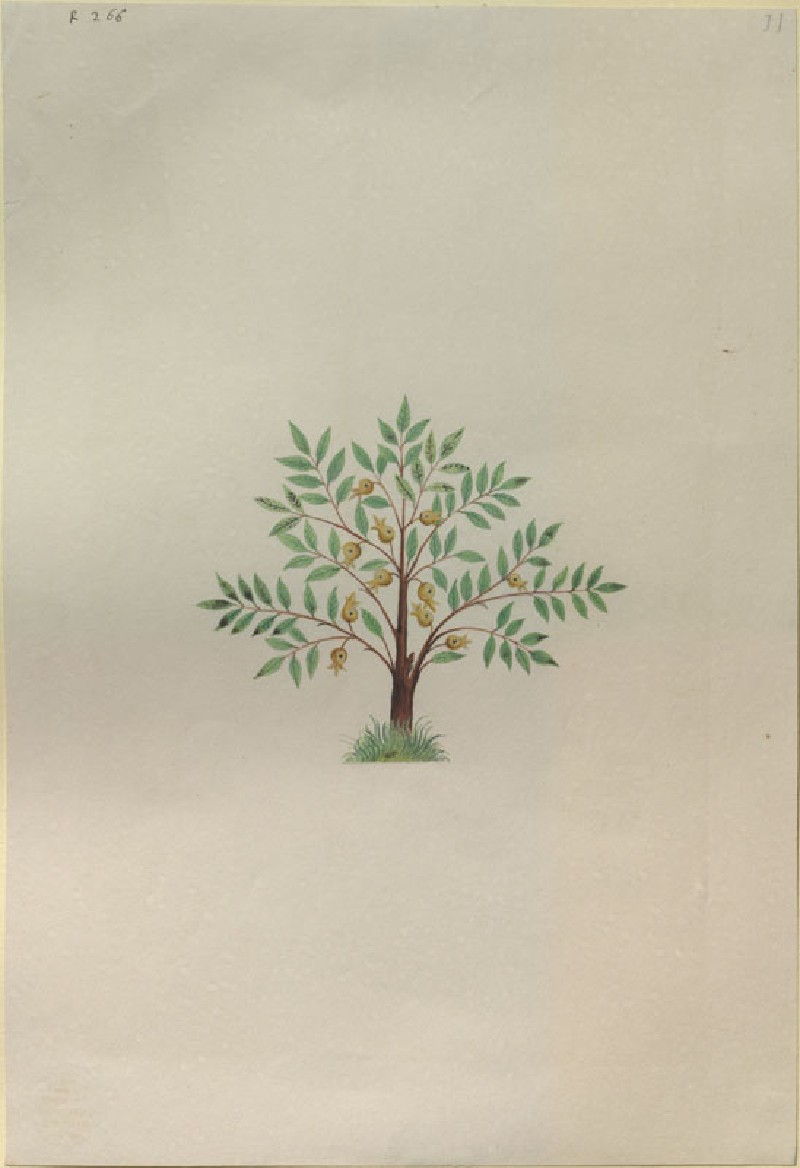 Drawing of an Illustration in the 'Herbal of Benedetto Rin', showing a Nutmeg Tree ('Nux muscata') (WA.RS.RUD.266, Caldara, Antonio, after Andrea Amadio - Drawing of an Illustration in the
