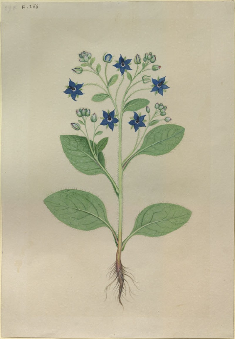 Drawing of an Illustration in the 'Herbal of Benedetto Rin', showing a Borage Plant ('Borago')