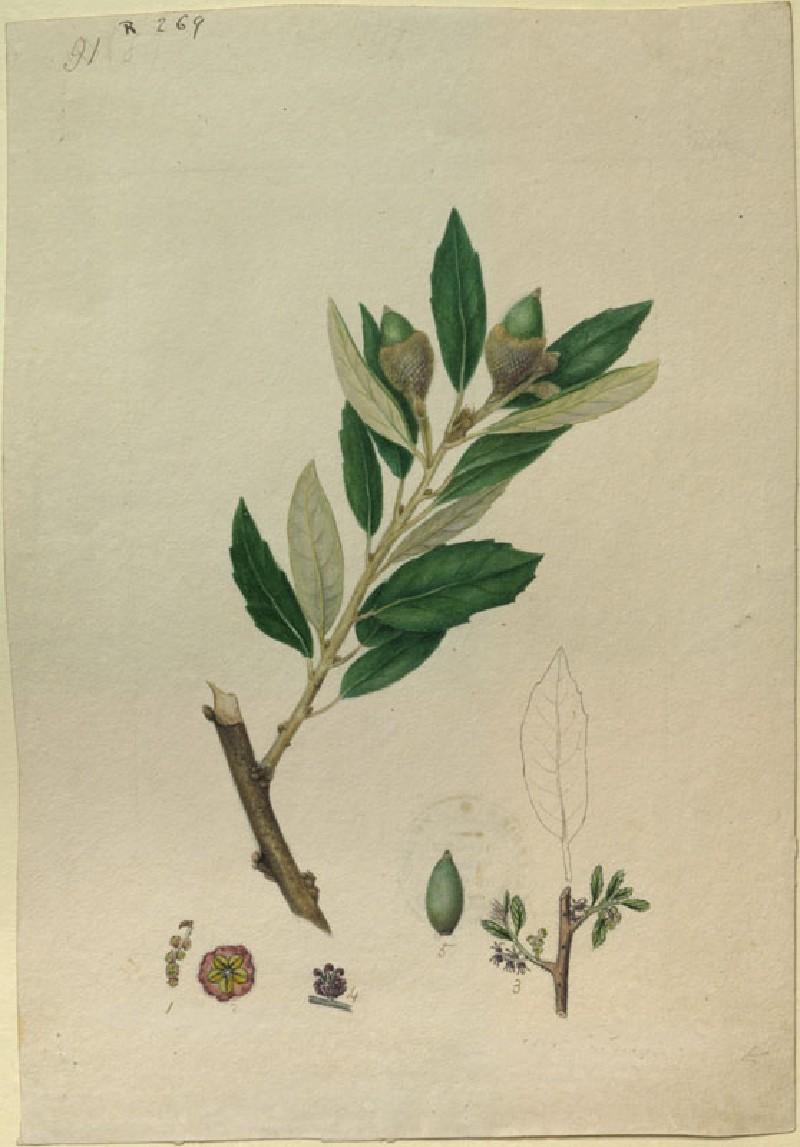 Study of Cork Oak