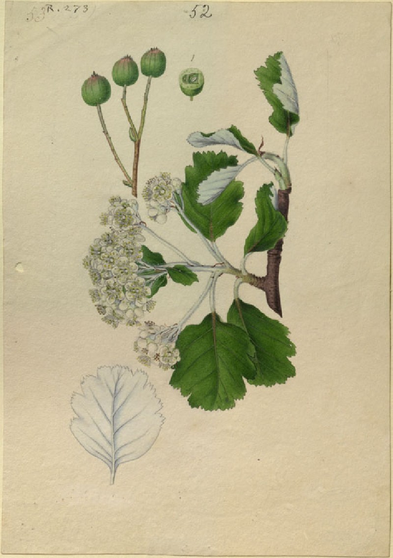 Plant Study (WA.RS.RUD.273, Hart, J. - Plant Study ())