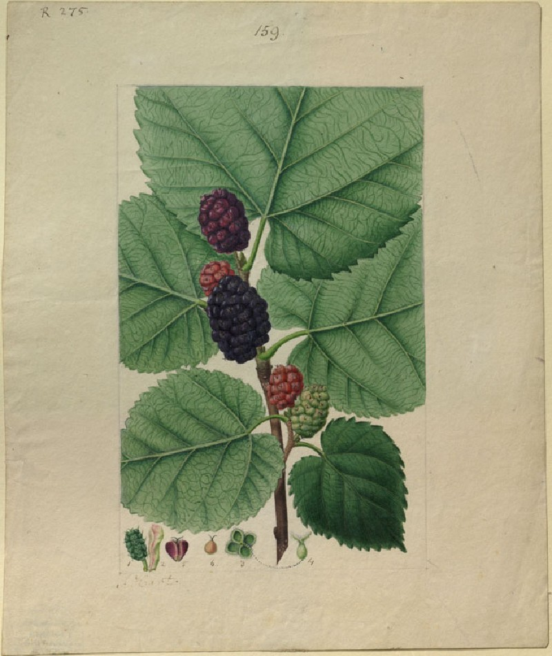 Study of Mulberry