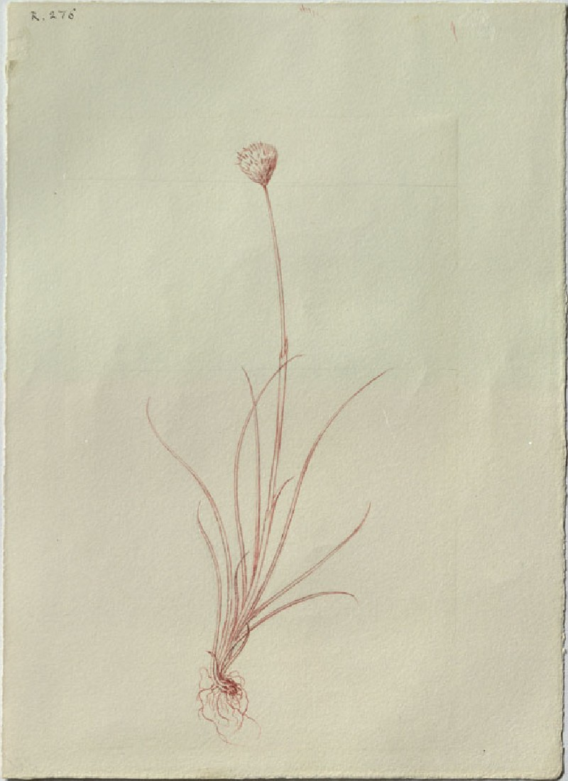 Drawing of the Outline of Hare's-tail Cottongrass (Eriophorum vaginatum), from the Engraving in the Floræ Danicæ (WA.RS.RUD.276, Ruskin, John - Drawing of the Outline of Hare's-tail Cottongrass (Eriophorum vaginatum), from the Engraving in the Floræ Danicæ ())