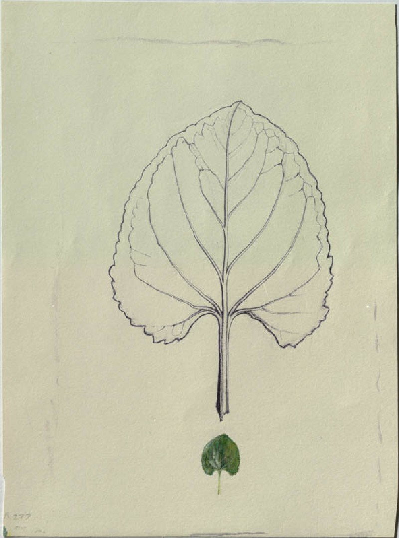 Enlarged Outline of a Violet Leaf, with a life-size Leaf below (WA.RS.RUD.277, Ruskin, John - Enlarged Outline of a Violet Leaf, with a life-size Leaf below ())