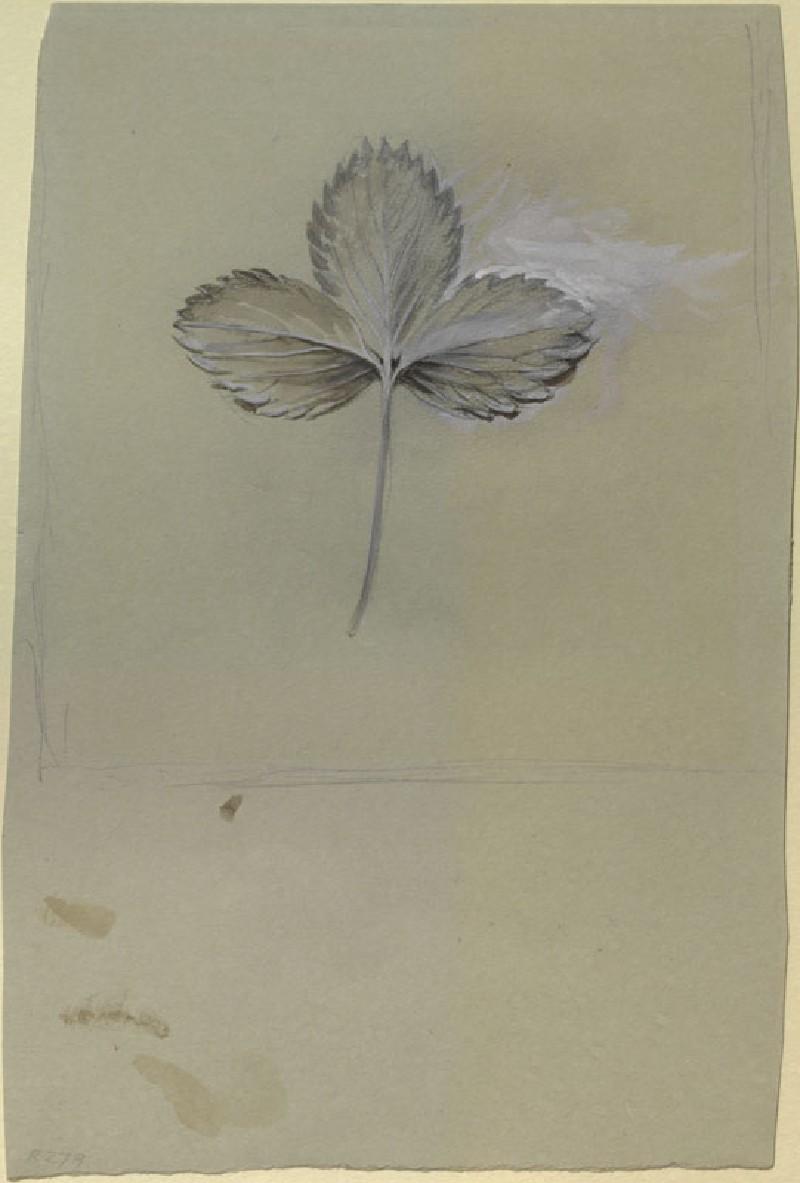Quick Sketch of a Strawberry Leaf (WA.RS.RUD.279, Ruskin, John - Quick Sketch of a Strawberry Leaf ())