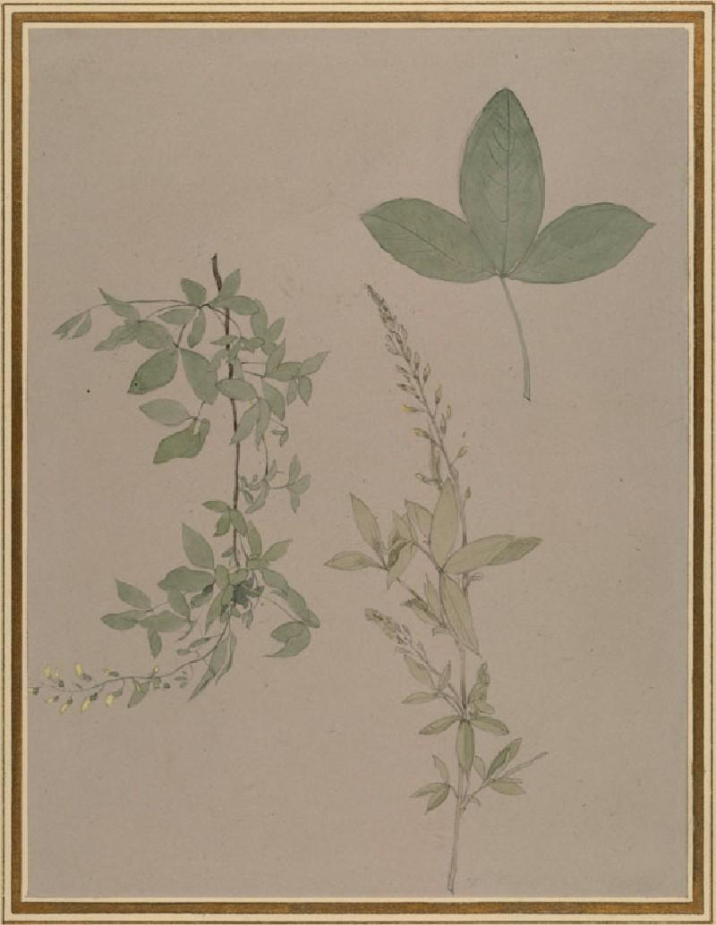 Leaf Contour: Laburnum