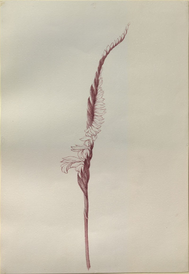 Drawing of Autumn Ladies' Tresses (Spiranthes spiralis), from the Engraving in the Floræ Danicæ (WA.RS.RUD.283, Burgess, Arthur - Drawing of Autumn Ladies' Tresses (Spiranthes spiralis), from the Engraving in the Floræ Danicæ ())
