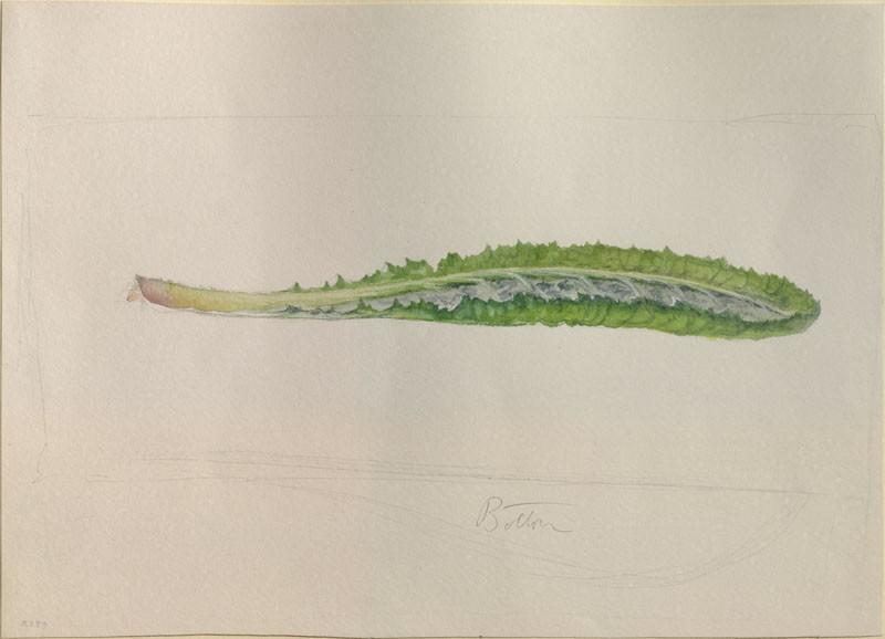 Enlarged Drawing of a Primrose Leaf (WA.RS.RUD.289, Ruskin, John - Enlarged Drawing of a Primrose Leaf ())