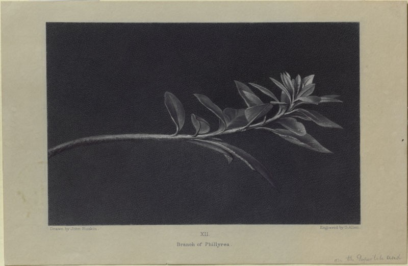 Engraving of Ruskin's drawing of Growing Shoot of Mock Privet (Phillyrea), seen in Profile