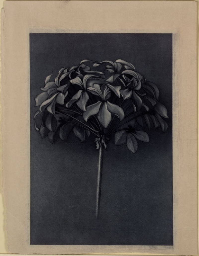 Engraving of Ruskin's Drawing of the Petal Vault of a Scarlet Geranium
