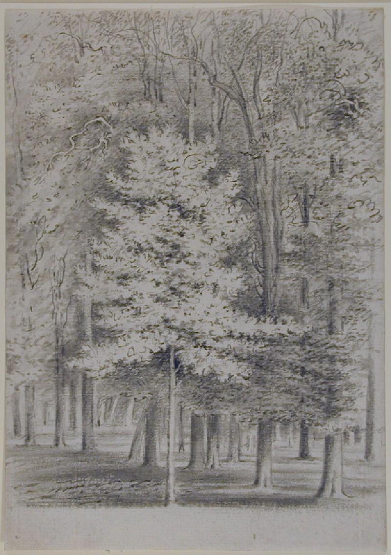 A sapling elm, Magdalen Grove (WA1925.44, record shot)