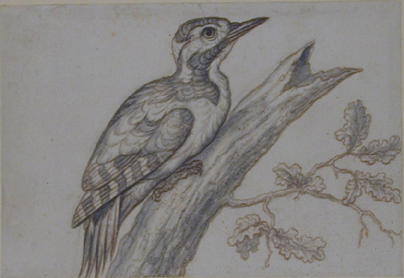 A Great Spotted Woodpecker on an Oak Branch (WA1963.89.7, record shot)