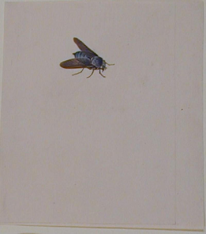 Horse-Fly (Tabanus Atratus) (WA1967.46.1, record shot)